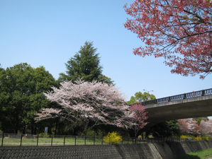 110415shouwasakura13