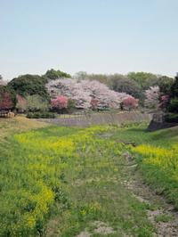 110415shouwasakura16_2