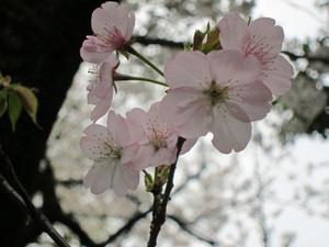 Sibasakura12