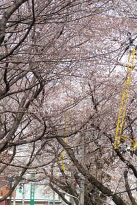 Sakurazaka03