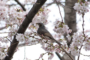 Sakurazaka05