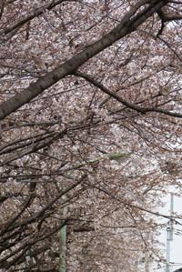 Sakurazaka06