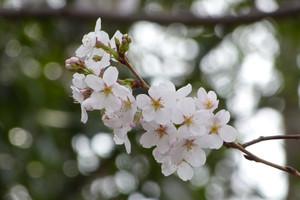 Sakurazaka08