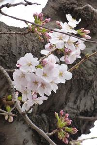 Sakurazaka09