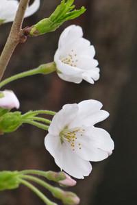 Sakurazaka12