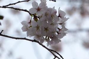Sakurazaka13