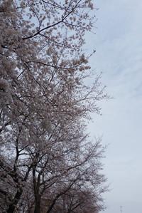 Sakurazaka16