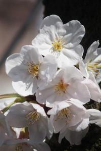 Sakurazaka04